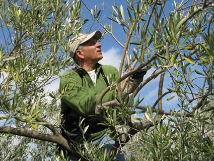 taille des oliviers en octobre